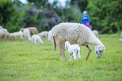 Moutons et agriculteur Image libre de droits