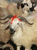 Moutons et Bélier images stock