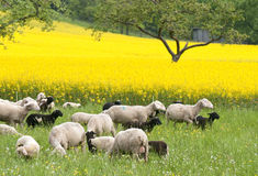 Moutons et Canola Photo libre de droits