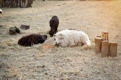 Moutons et chèvre par la cuvette tonalité Photo libre de droits