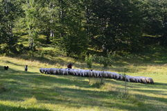 Moutons et chien Photos libres de droits