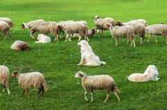 Moutons et chiens sur le champ d'herbe verte Photographie stock libre de droits