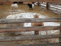 Moutons et moutons dans la volière images libres de droits