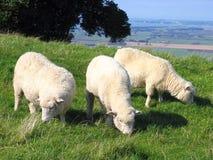 Moutons et Glassland Photos stock