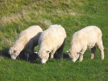 Moutons et Glassland Images stock