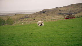 Moutons et jeunes agneaux frôlant dans un domaine clips vidéos