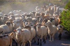 Moutons et lamas entendus parler sur une route dans Putre, Chili Amérique du Sud Images stock