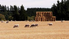 Moutons et meule de foin de Nz banque de vidéos