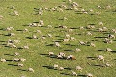 Moutons et noir Image stock