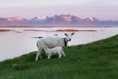 Moutons et paysage de soirée Photographie stock