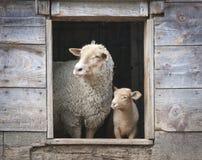 Moutons et petite brebis, dans la fenêtre en bois de grange images libres de droits
