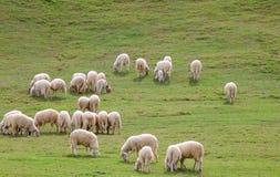 Moutons et prairie Images libres de droits