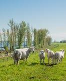 Moutons et ses agneaux sur une digue hollandaise Images libres de droits
