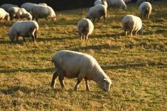 Moutons et soleil d'hiver Photo stock