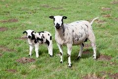Moutons et trois agneaux dans le pré Photo stock