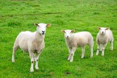 Moutons européens Images libres de droits