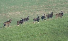 Moutons européens de mouflon Photo libre de droits