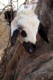 Moutons faisant une pointe par derrière l'arbre Photos libres de droits