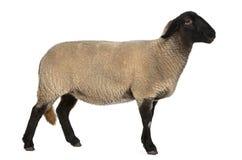 Moutons femelles du Suffolk, Bélier d'Ovis, 2 années Image libre de droits