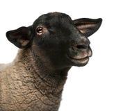 Moutons femelles du Suffolk, Bélier d'Ovis, 2 années photo libre de droits