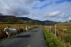 Moutons fonctionnant sur la ruelle rurale dans Snowdonia Image libre de droits