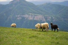 Moutons fonctionnant sur le pré Image libre de droits