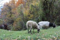 Moutons frôlant à Montseny, près de Barcelone images libres de droits
