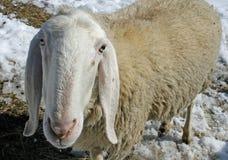 Moutons frôlant dans la neige à la recherche de l'herbe photos libres de droits