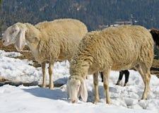 Moutons frôlant dans la neige à la recherche de l'herbe images stock