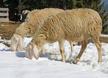 Moutons frôlant dans la neige à la recherche de l'herbe photographie stock