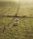 Moutons frôlant dans le paysage pendant le lever de soleil vibrant rougeoyant d'hiver photo libre de droits