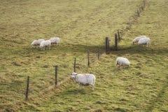 Moutons frôlant dans le paysage pendant le lever de soleil vibrant rougeoyant d'hiver image stock
