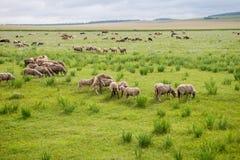 Moutons frôlant dans le troupeau dans la perspective de la steppe photos stock