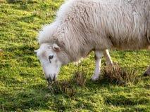 Moutons frôlant dans un domaine photographie stock libre de droits