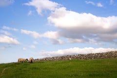 Moutons frôlant dans un pâturage photos libres de droits