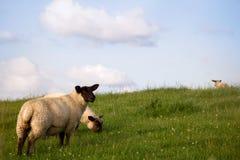 Moutons frôlant dans un pâturage vert images stock