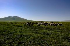 Moutons frôlant dans un pré photographie stock