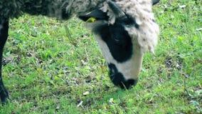 Moutons frôlant l'herbe clips vidéos