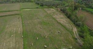 Moutons frôlant la longueur aérienne Turquie clips vidéos