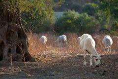 Moutons frôlant sur l'herbe sèche près de l'olivier Photo stock