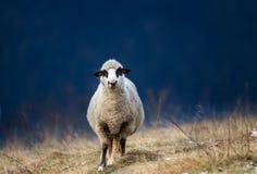 Moutons frôlant sur le flanc de coteau avec la forêt à l'arrière-plan Image stock