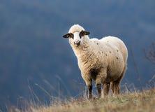 Moutons frôlant sur le flanc de coteau avec la forêt à l'arrière-plan Photos libres de droits