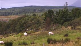 Moutons frôlant sur un champ accidenté banque de vidéos