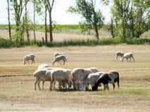 Moutons frôlant sur un champ l'été en Espagne Photographie stock