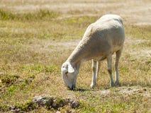 Moutons frôlant sur un champ l'été en Espagne Photographie stock libre de droits