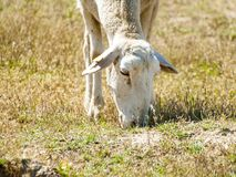 Moutons frôlant sur un champ l'été en Espagne Photos stock