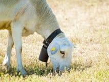 Moutons frôlant sur un champ l'été en Espagne Photo stock