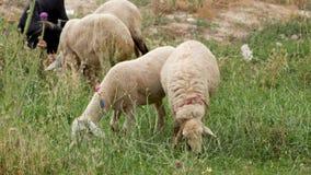 Moutons frôlant sur un champ vert en été banque de vidéos