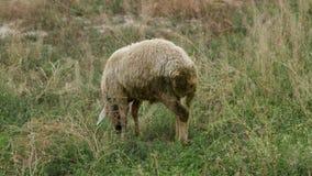 Moutons frôlant sur un champ vert en été clips vidéos
