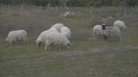 Moutons frôlant sur un pré clips vidéos